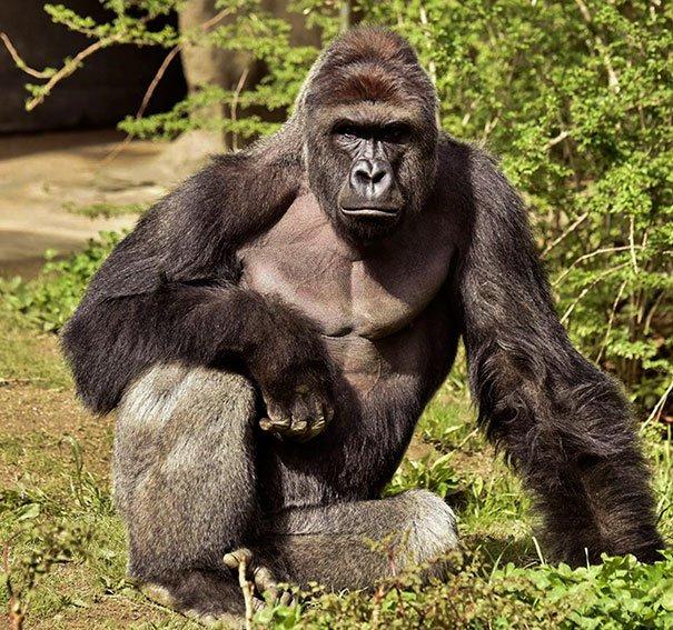 gorilla-shot-boy-zookeper-explains-harambe-amanda-odonoughue-cincinnati-zoo-1.jpg