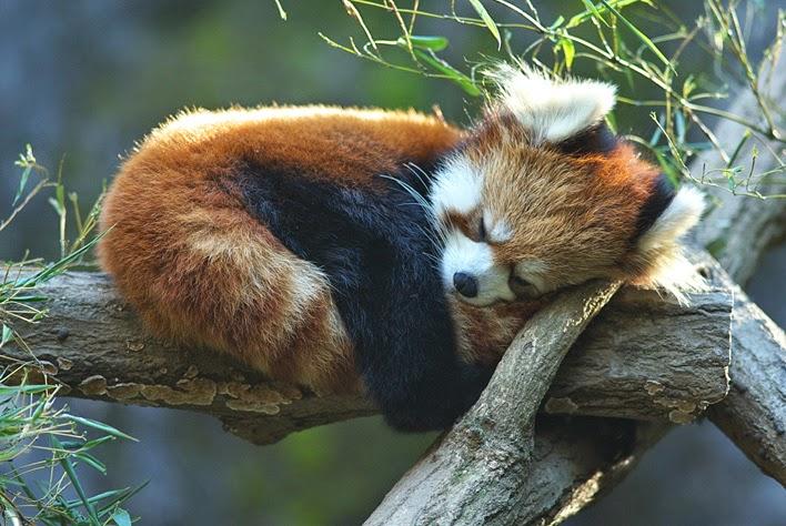 cute-red-panda-06.jpg.5b4cb8cab72dbe78bb23acacdf3c82d3.jpg