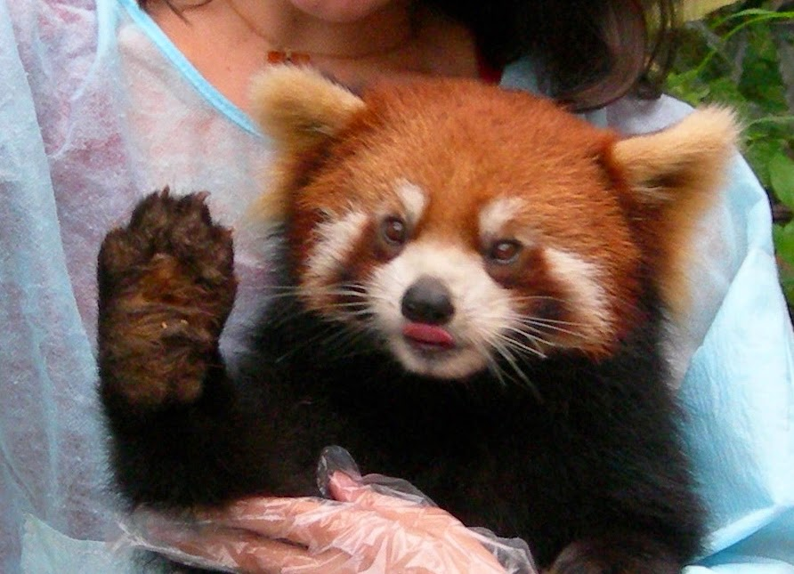 cute-red-panda-19.jpg.63c0eea0922e993bb56c11d1b26ac50f.jpg