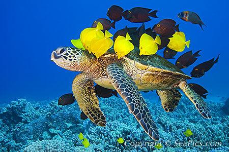 020965-450-green-sea-turtle.jpg.a1ce96b938d63e3dd337e3e957260869.jpg
