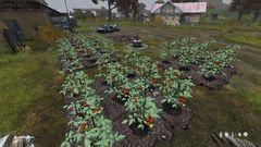Tomatoes in Vybor