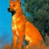 Dingo77