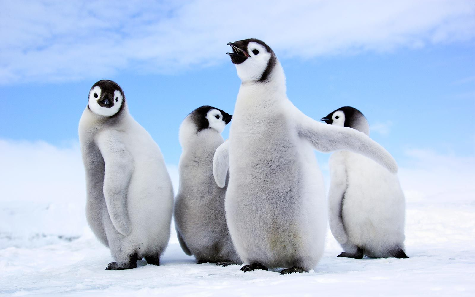 emperor-penguins-antarctica-PENGUINGAMES0218.jpg