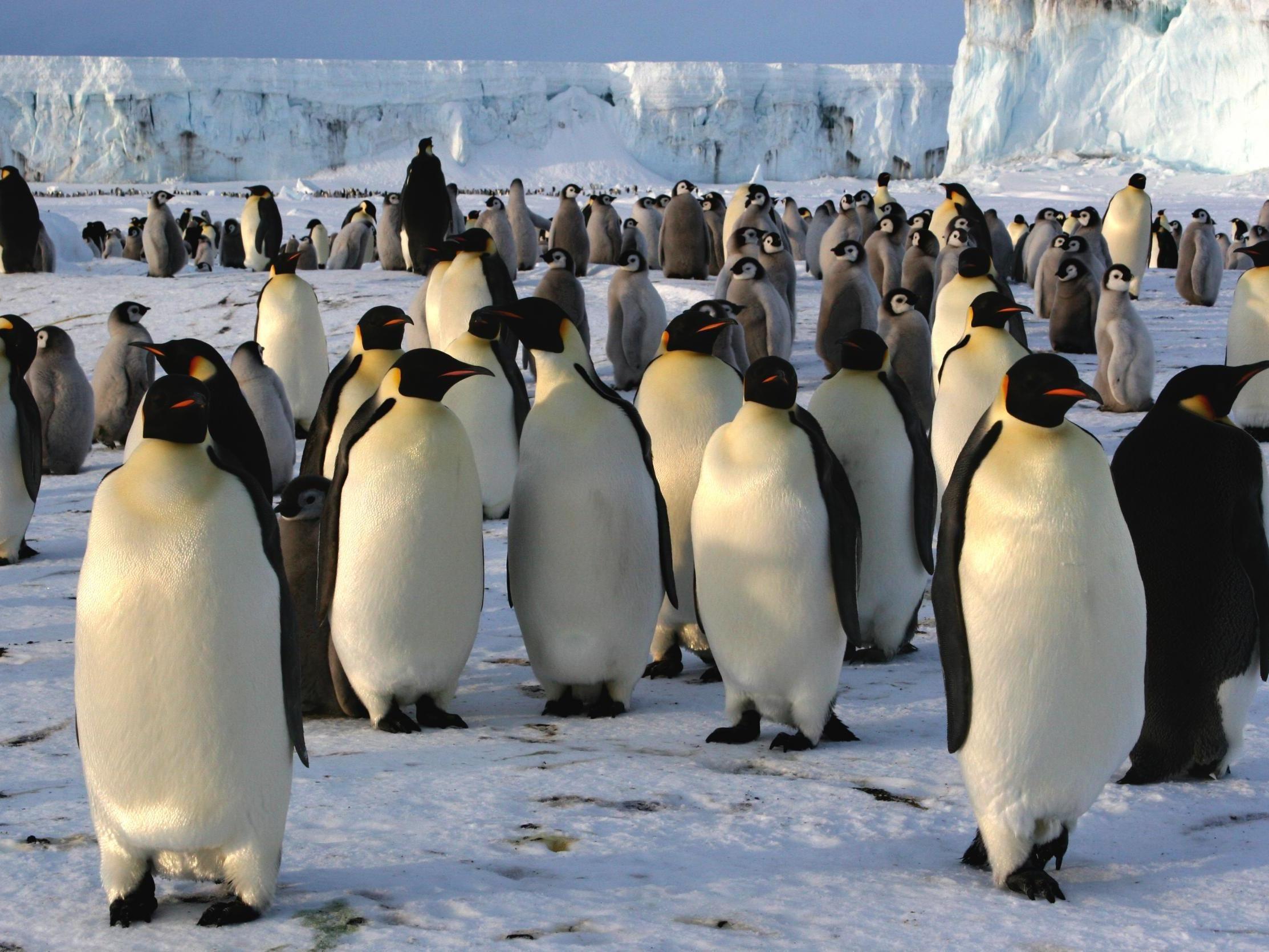 emperor-penguins.jpg.5b22d5455712a9f01c48e0d7fa60248c.jpg
