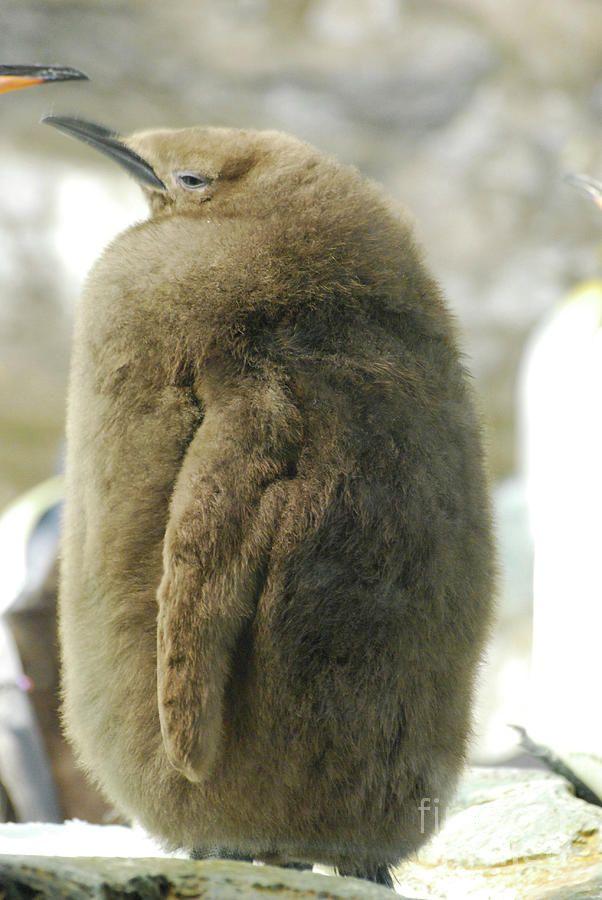 king-penguin-chick-with-lots-of-downy-feathers-dejavu-designs.jpg.90a9c12c28994d711eb118b629eb28da.jpg