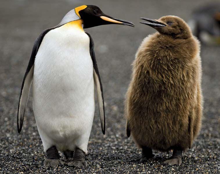 king-penguins.jpg.8c27e731b38b5920503b4a016a601d9b.jpg